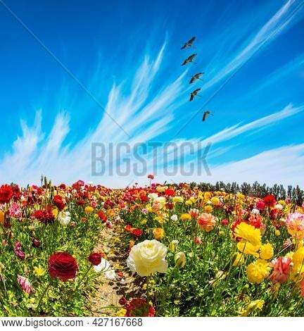 Big birds fly over the ground. Beautiful multi-colored garden buttercups grow in a kibbutz field. Spring in Israel. Wonderful trip for spring beauty. Sea of flowers.