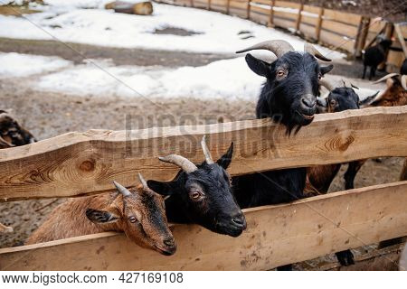 Flock In Sheepfold, Farm Livestock Pen Of Countryside In Winter Day, Brown Woolly Sheep And Goats Wi