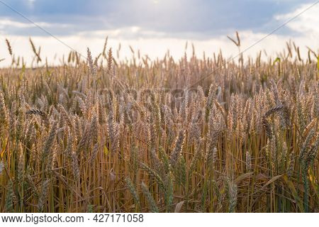 Ripening Wheat On The Field In The Evening Backlight Sunlight Against The Sky