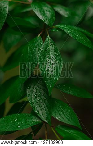 Green Wet Leave After Rain With Water Drops Fresh Air And Ecology Thematic Vertical Picture