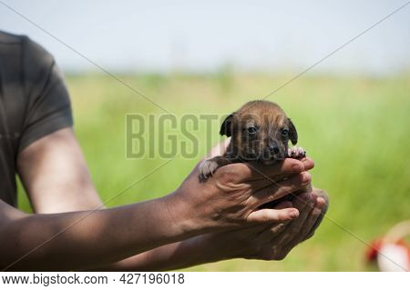 Little Red-haired Dog Puppy In His Arms Looks In The Frame. A Little Dog Is Laying In The Arms Of Hi