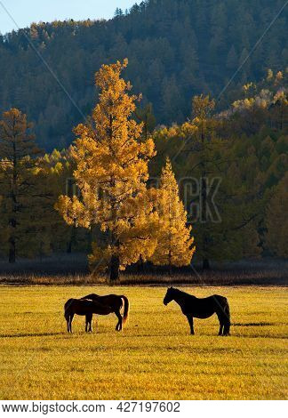 Russia. South Of Western Siberia. Mountain Altai. A Herd Of Horses With Grown-up Foals Graze On An A