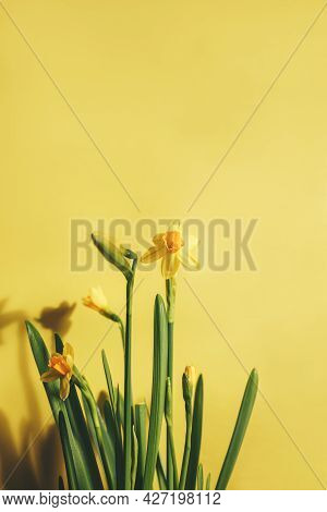 Yellow Daffodils Or Daffodils On A Yellow Background. The Concept Of A Holiday, A Gift, Spring.