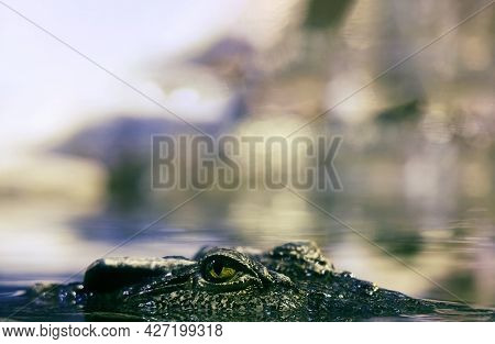 A Look. Concept. Siamese Crocodile Looks Out Of The Water. The Predator Is Tracking Down Prey. Close