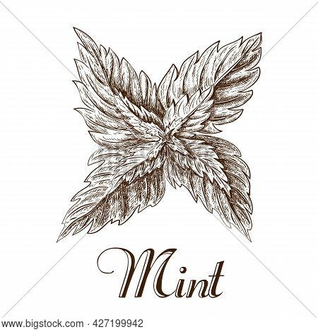 Hand Drawn Mint Leaves Isolated On White Background. Ink Sketch Of Mint Branch. Illustration Of Spea