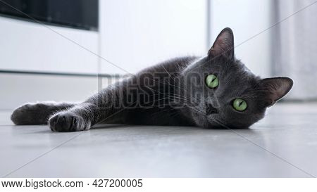 Beautiful Gray Playful Cat With Bulging Eyes Lie On The Floor.