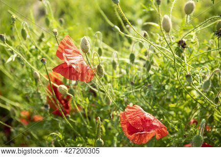 Red Flowers Of Poppies And Green Grass In A Field