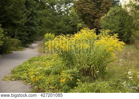 Bush Of The Flowering Wild Growing Canadian Goldenrod In A Park