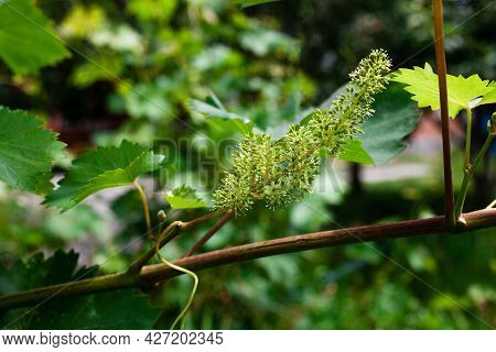 Green Grapes Growing On The Grape Vines. Unripe Bunch Of Grapes On Tree. Vineyard In Sunny Day. Clos
