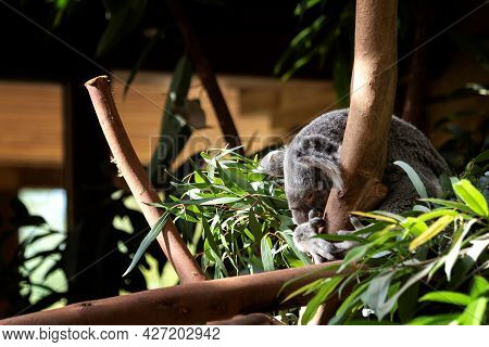 A Portrait Of A Koala Bear Sitting In The Top Of A Tree In Between The Leaves. The Animal Is Holding