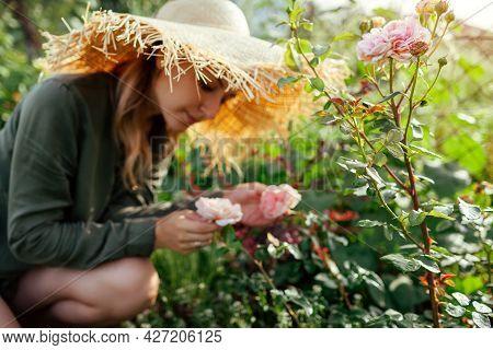 Gardener Woman Smells Pink Rose Abraham Darby Blooming In Summer Garden. English David Austin Select