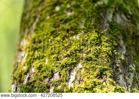 There Is Green Moss On The Bark Of The Tree, The Day Is Large, Light, Horizontal