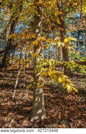 Walking On A Trail Looking Uphill At A Bright Yellow Turning Orange Tree In The Forest With Fallen L