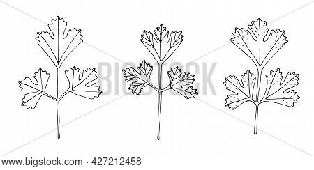 Set Of Parsley Twigs Vector Illustration Hand Drawing Doodle