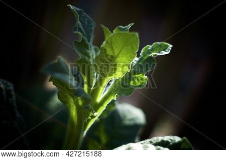 Beautiful Artistic Close Up Of Young Flower Stalk, Of The Night Blooming Jasmine Tobacco Plant, Nico