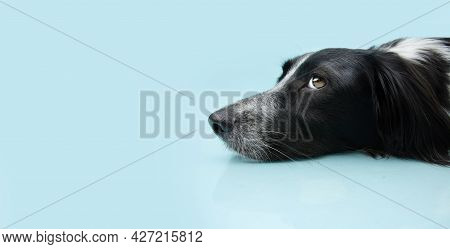 Profile Dog Puppy Lying Down On Blue Colored Background