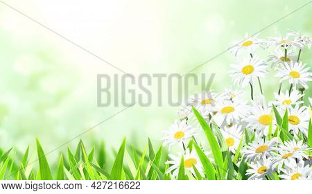 Blooming chamomile flowers. Horizontal sunny summer background with camomile flower and green grass. Copy space for text