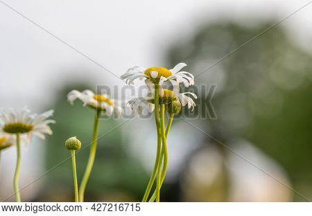 Close up shot off Chamomile flowers in thee garden