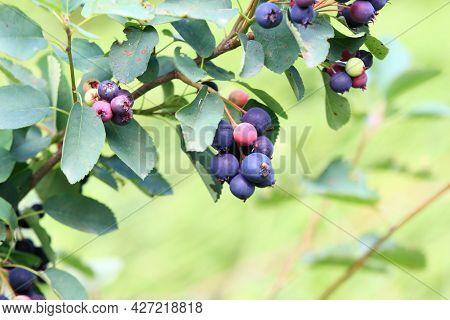 Saskatoon, Pacific Serviceberry, Western Serviceberry, Alder-leaf Shadbush Or Dwarf Shadbush, Lat. A