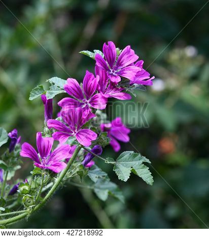 Plant Of Wild Mallow, Lat.  Malva Sylvestris In The Garden.  Medicinal Herb Has Been Used In Herbal