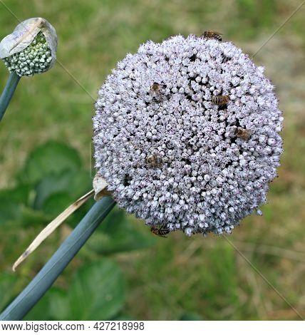Flower Of Leek, Lat. Allium Ampeloprasum, Perfect For Bees.  Compound Flower Of Leek Flowering In Th