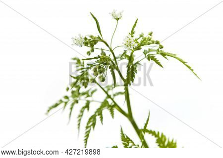 Apiaceae, Probably Anthriscus Cerefolium Chervil, A White Flower Growing In Spring And Summer In Eur