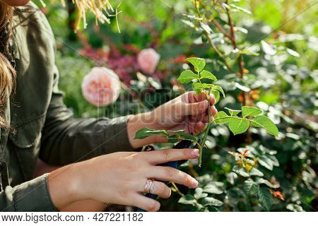 Propagation Of Roses. Gardener Holding Rose Stem Cutting In Summer Garden. Plant Reproduction. Woman