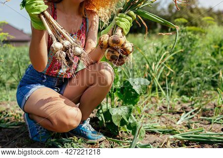 Gardener Harvesting Onions And Garlic In Summer Garden Holding Bunch Of Picked Vegetables. Growing O