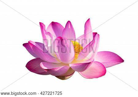 Lotus Pink Isolate White Flowers Bloom Lotus Pink Isolate White Flowers Bloom