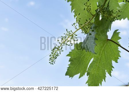 Growth Of Little Unripe Grapes On Young Green Sprout On  Spring Vineyard On Light Sky Background, Wi
