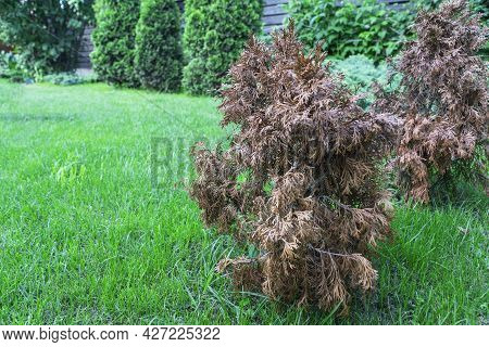 Two Small Withered Thuja On A Green Succulent Lawn. The Consequences Of Drought And Improper Plant C
