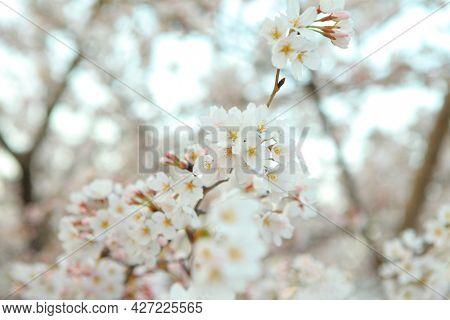 Beautiful sakura flower tree close up
