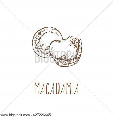 Hand Drawn Vector Macadamia Nut Core Different