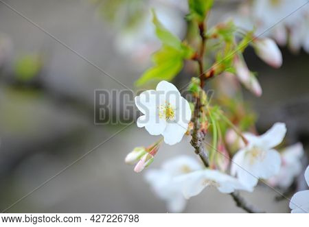 White sakura flower tree close up