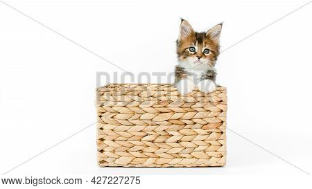 Striped Grey Kitten Playing In A Basket On A White Background. Cat Hiding In Basket. Kitten Jumps Ou