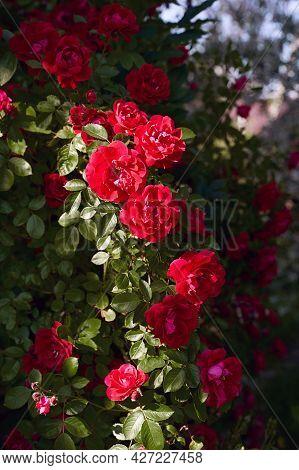 Red Roses Bush In The Summer Garden