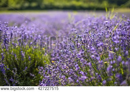 Close Up Lavender Flower Blooming On The Wind, Czech Republic, Europe