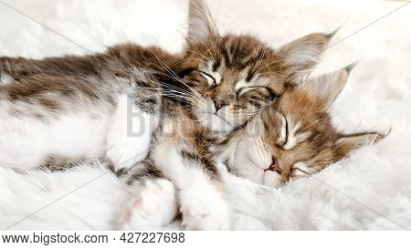 Gray Striped Kittens Sleeping. Kitty Sleeping On A Fur White Blanket. Baby Cat Sleeping. Concept Of