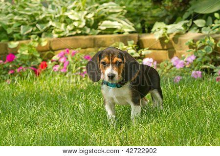 Little Beagle pup