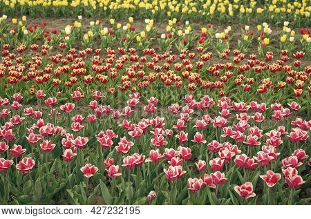 Greenhouse Flowers. Nature Is Humans Anti-stress. Beautiful Colored Tulip Fields. Holland During Spr