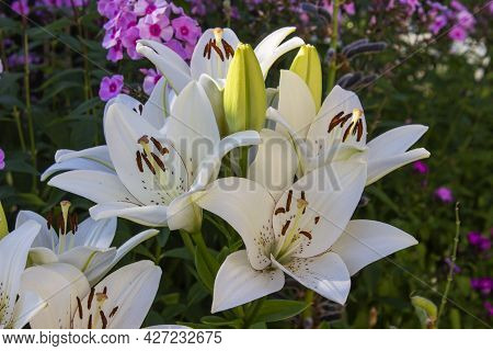 Beautiful White Flowers Daylily. White Daylilies Blossom In The Summer.