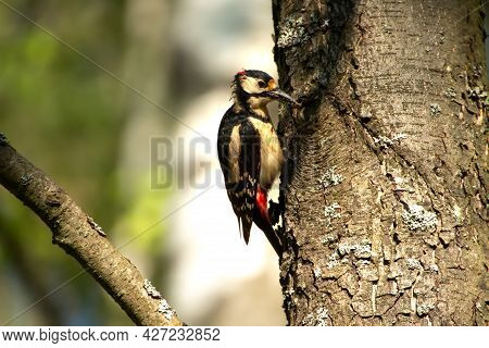 Wild Nature. Wild Birds In The Forest. Woodpecker On The Trunk Of Trees. Woodpecker Holding The Inse