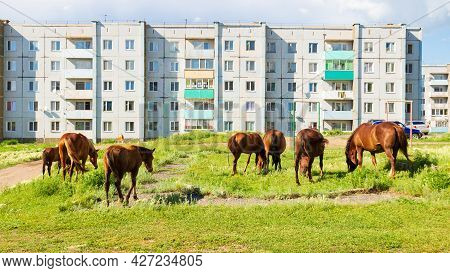 Horses Graze In The Courtyard Of Panel Residential Buildings In Siberia. Russian Village Concept Bac