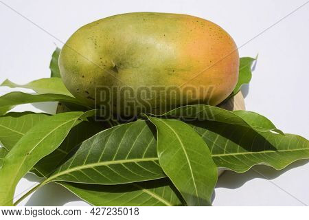 Delicious Kesar Mango Variety From Parts Of Gujarat And Maharastra. Gir Forest Famous Species Of Kin
