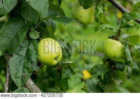 Fresh Juicy Apples Ripening On Apple Tree Branch. Organic Fruits In Home Garden.ripening Young Apple