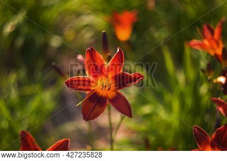 Lilies Are Bright Orange Close-up In Green Blurred Background. The Daylily Is A Very Beautiful Flowe