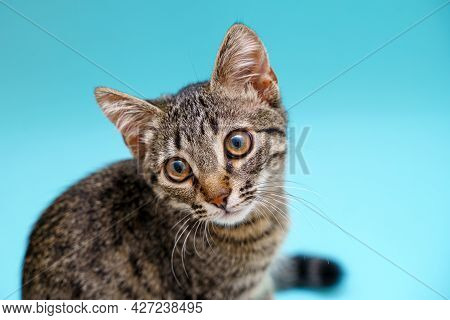 Closeup Kitten Tabby Grey Portrait. Big Eyes And Cute Face. Pet Cat Portrait On Blue Background. Oph