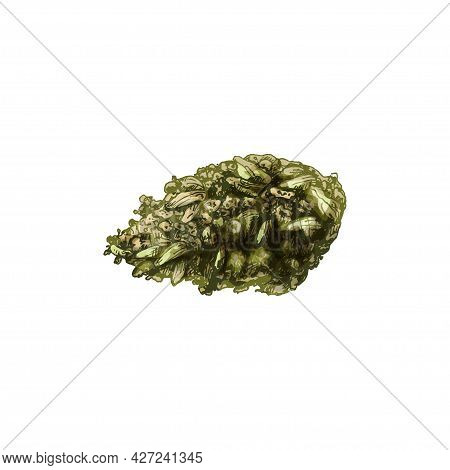 Marijuana Buds. Vintage Vector Hatching Color Hand Drawn Illustration Isolated On White Background