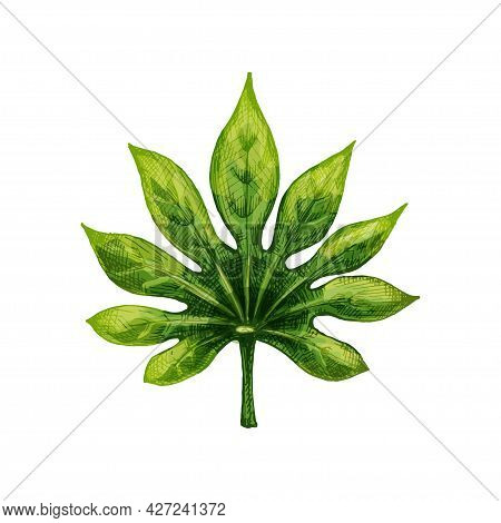 Green Fresh Fatsia Japonica Leaf. Vintage Vector Hatching Color Hand Drawn Illustration Isolated On