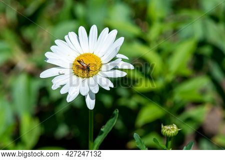 A Beautiful Beetle Flew On One White Daisy